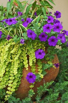 .Goldilocks seem to bubble over the top of this container lying on its side. Its use as a spiller plant is complemented by the Easy Wave Blue petunias. (Photos by Norman Winter)