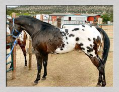 Appaloosa known for their Leopard genes. Cute Horses, Horse Love, Spotted Horse Breed, Amazing Beasts, Horse Markings, American Quarter Horse, Appaloosa Horses, Most Beautiful Animals, Horse World