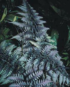 Athyrium nipponicum 'Burgundy Lace PP15072' - Burgundy Lace Fern www.vanbloem.com #vanbloemgardens #perennial