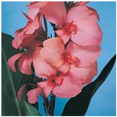 We are offers quality Pink Canna Bulbs at great prices, come see what we mean! Simply select from one of the many Pre Planned Gardens. Canna Bulbs, Gladiolus Bulbs, Salmon Pink Color, Bulbs For Sale, Garden Online, Plant Lighting, Calla Lillies, Exotic Beauties, Organic Gardening Tips