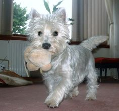 cairn terrier grooming - Google Search
