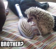 16 Reasons Hedgehogs Are Better Than Politicians - Funny Animal Quotes - - Amazing Creatures: 30 Funny animal captions part 8 pics) The post 16 Reasons Hedgehogs Are Better Than Politicians appeared first on Gag Dad. Funny Animal Jokes, Cute Funny Animals, Funny Cute, Super Funny, Funy Animals, Funniest Animals, Animal Funnies, That's Hilarious, Funny Sexy