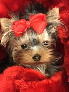 "Explore our web site for more details on ""yorkshire terrier puppies"". It is actually an excellent spot to find out more. Cute Puppies, Cute Dogs, Yorshire Terrier, Dog Whistle, Yorky, Yorkie Puppy, Chihuahua, Yorkshire Terrier Puppies, Happy Puppy"
