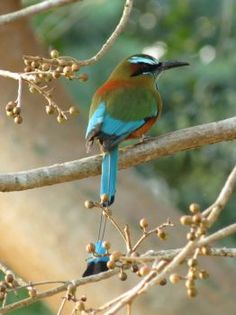 Turquoise-browed Motmot (48 pieces)