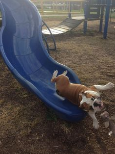 This attempt at going down the slide. | The 61 Most Awkward Moments In The History Of Dogs