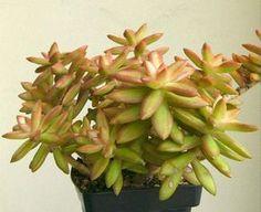 Nome científico: Sedum carnicolor. O tom nas pontas dessa suculenta variam de cinza a rosa, dependendo da incidência de sol (Foto: Pinterest/Reprodução)