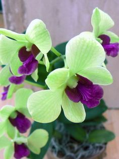 Dendrobium anna Green