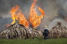 Kenya burns 105 tons of ivory to protest poaching