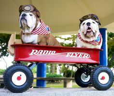 English Bulldogs going for a ride in their Radio Flyer wagon. English Bulldog Funny, British Bulldog, English Bulldogs, Bulldog Puppies, Dogs And Puppies, Bulldog Pics, Baby Animals, Cute Animals, Funny Animals