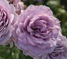 """Pleasantly fragrant 4"""" blossoms are packed with lovely lavender petals, and appear in clusters on highly disease-resistant plants. Also known as Novalis®, this award winner was named after a German poet who regarded the blue rose as a symbol of love and desire. Grafted. 'KORfriedhar' PP 23,555Roses offer colors, perfumes, forms, and habits to suit every garden situation. The tenacious efforts of breeders have yielded Roses with the best attributes of different varieties in new forms. Hybrid…"""