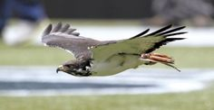 Taima The Hawk | Taima, an Augur hawk, flies ahead of the Seattle Seahawks during team ...