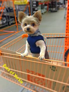 Duke of Yorkie - Put the camera down and take me for a ride lady!!!