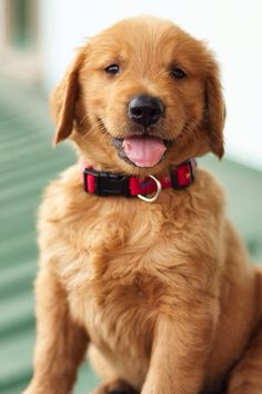 Golden pup!