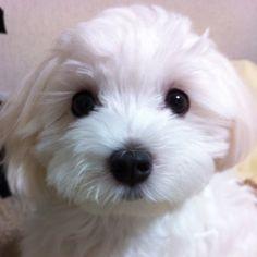 Maltese puppy staredown