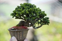 Shohin bonsai tree | From the shohin album at Bonsai Empire … | Flickr - Photo Sharing!