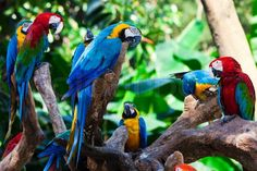 Billede fra https://www.colourbox.dk/preview/2681407-group-of-beautiful-parrots-in-a-tree.jpg.