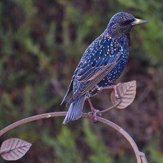 """entreletrasycafeina:  """"pagewoman:  """" Starling  by Julie Dickson  """"  Las aves encarnan todas las posibilidades, son lo más parecido que conozco al infinito. Por eso, cuando las observo, siento el mismo miedo en cada una.  Nerea Pallares  """""""