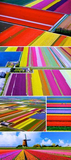 Dutch Tulip Fields overview
