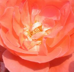 Rose, via Flickr.