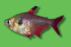 AQUARIUM GUIDE - Fische - Südamerika - Salmler - Roter Phantomsalmler - Hyphessobrycon sweglesi
