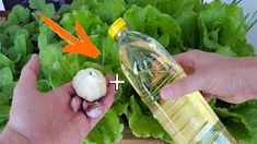Premýšľali ste niekedy o tom, že obyčajné prísady z našej kuchyne nám dokážu pomáhať v mnohých oblastiach? Presne tak je tomu aj v prípade cesnaku a kuchynského oleja.Toto spojenie je možno prekvapivé, ale pomôže vám … Homemade Insecticide, Indoor Orchids, Compost, Organic Gardening, Planters, Make It Yourself, Youtube, Presne Tak, Forget
