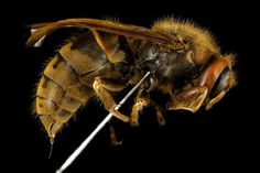 Not sure how to tell a carpenter bee from a honey bee from a wasp? This handy guide will help you identify types of bees and wasps and whether or not they sting Bee Identification, Different Types Of Bees, Carpenter Bee, Bees And Wasps, Container Flowers, Save The Bees, Hornet, Endangered Species, Bee Keeping