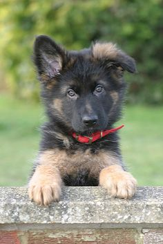 German Shepard puppy. Could he be any cuter?