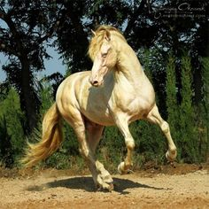 Beautiful Arabian Horses, Most Beautiful Horses, Majestic Horse, All The Pretty Horses, Akhal Teke Horses, Andalusian Horse, Horse Photos, Horse Pictures, Golden Horse