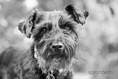 PipSqueak by Sarah Beth Photography #Miniature #Schnauzer