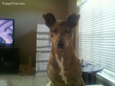 Louisiana Catahoula Leopard Dog - Chula was found roaming around the streets [in Spring, Texas]. She was only 10 weeks old. She received an  excellent report from the vet. Chula is a sweet dog but needs to be in a one dog one animal home.  Please call 936-581-6832