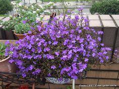 2013年4月 還記得這盆六倍利藍調雙傑嗎?開花性真的超好