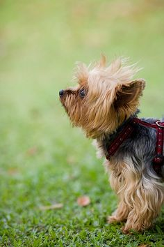 Yorkshire Terrier: dog first. NOT a fashion model or accessory. Thank you.