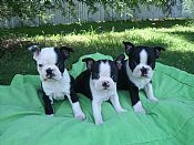 The Boston Terrier puppy in the middle is potentially our new puppy!