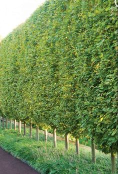 An avenue of European Hornbeam hedges, created by Gale Nurseries, in PA. Hornbeams will often retain their dead leaves throughout the winter (but they turn brown). They are particularly nice when they are doubled up, and when they are rowed with lime trees.