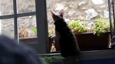 Sphynx Cat wants to catch a pigeon