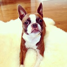 Boston Terrier. This looks Ike our Lucie!