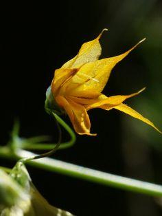 Melasphaerula ramosa | Flickr - Photo Sharing!