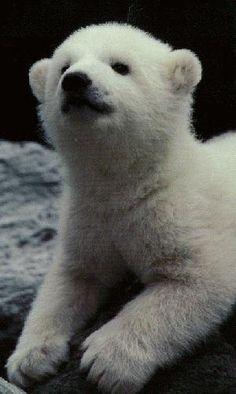 Polar Bear cub Baby Bears, Polar Bears, Vulnerable Species, Endangered Species, Cubs, Habitats, Cute Pictures, Puppies, Animals
