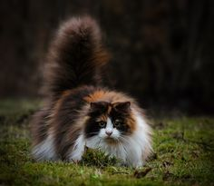 Fluffy cat by Jane Bjerkli on 500px... this cutie reminds me of \'wildthing\'...