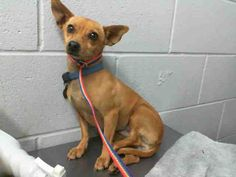 SAFE --- Poor Pixie. Her owner just surrendered her at San Bernardino City Animal Shelter. She looks so sad  PIXIE - #A475257 Available 10/31 My name is Pixie and I am a spayed female, brown Chihuahua - Smooth Coated. Shelter staff think I am about 4 years old. I have been at the shelter since Oct 31, 2014. https://www.facebook.com/photo.php?fbid=10203860818378451&set=a.10203202186593068&type=3&theater