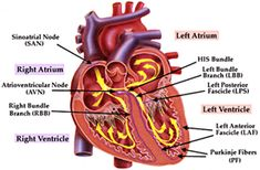 ECG & Cardiology SA node acts as main pacemaker in the heart. AV node conducts the atrial impulse to the ventricles. Cardiac Anatomy, Anatomy And Physiology, Human Heart Diagram, Continuing Medical Education, Nurse Education, Heart Anatomy, Medical Pictures, Cardiac Nursing, Hearts
