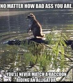 Badass raccoon hitching a ride on a gator!