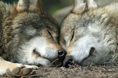 Wolf Mates Dreaming Together. Wolf Photos, Wolf Pictures, Animal Pictures, Beautiful Wolves, Animals Beautiful, Cute Animals, Wild Animals, Baby Animals, Wolf Spirit