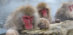 This reminds me of how my brother used to look at the dinner table. (Afar, Japanese Snow Monkeys)