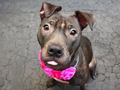 """MISS LIZZY - A1036654 - - Manhattan  TO BE DESTROYED 06/01/15   A volunteer updates: Just like the lyrics, """"What a difference a day makes…"""", Miss Lizzy has come out of her shell and is welcoming and tail waggy. She's even ready to snuggle on any lap who will have her, happy to make new friends and go for a walk. She's met several new people, greeting all with a smile and a wag and is becoming the little girl her former family described to us &#"""