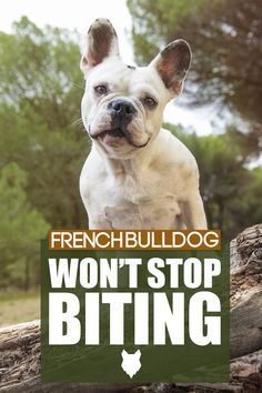 Training your French Bulldog not to bite is obviously a very important part of the puppy training. In today's blogpost we will dive into the issue and what we can do to become the best Canine Leader possible. Puppy Training Tips, Training Your Dog, Best Dog Breeds, Best Dogs, French Bulldog Breed, Dog Breed Info, The Perfect Dog, Separation Anxiety, Dog Behavior