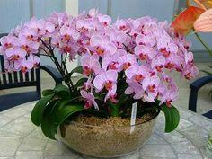 #Phalaenopsis #orchids