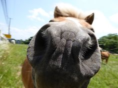 Velvety horse noses give the best kisses Funny Horse Pictures, Funny Horses, Funny Pics, All The Pretty Horses, Beautiful Horses, Horse Humor, Reliable Cars, Best Kisses, Mane Event