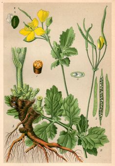 Plate 13. Chelidonium majus. Schöllkraut. Antique botanical lithograph from a homeopathy book issued in 1901, beautifully detailed, brilliantly