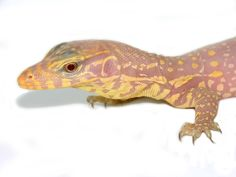 The T-negative albino water monitor is a color morph of the water monitor lizard. Lizards, Chameleons, Snakes, Fierce Animals, Cute Animals, Cute Lizard, Chameleon Lizard, Monitor Lizard, Dinosaur Crafts
